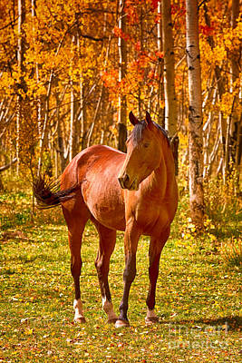 Beautiful Horse In The Autumn Aspen Colors Poster by James BO  Insogna