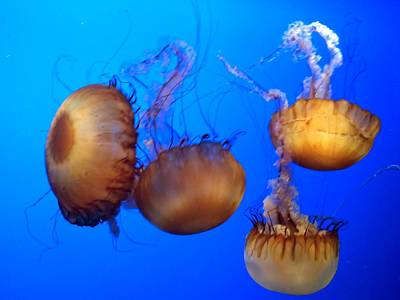 Poster featuring the photograph Beautiful Jellyfish by Janice Spivey