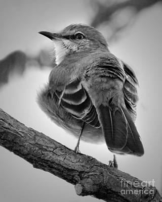 Poster featuring the photograph Beautiful Mockingbird by Anita Oakley