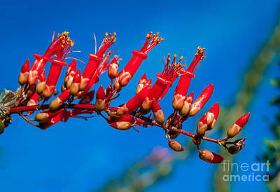 Beautiful Ocotillo Poster by Robert Bales