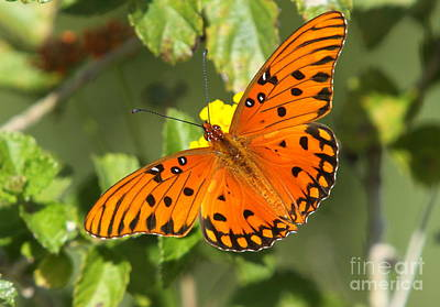 Beautiful Orange Butterfly - Gulf Fritillary Poster by Christiane Schulze Art And Photography
