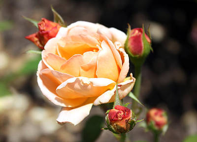 Poster featuring the photograph Beautiful Peach Orange Rose by Ellen Tully
