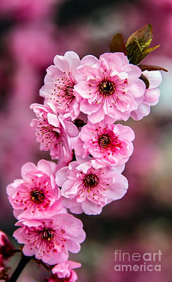 Beautiful Pink Blossoms Poster by Robert Bales