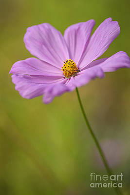 Beautiful Pink Cosmos Flower Poster by Vishwanath Bhat