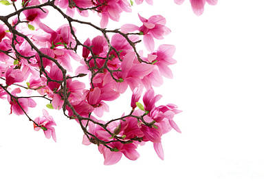 Beautiful Pink Flower Poster by Boon Mee