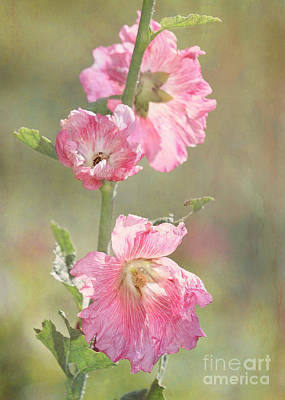 Beautiful Pink Hollyhock Flowers Poster