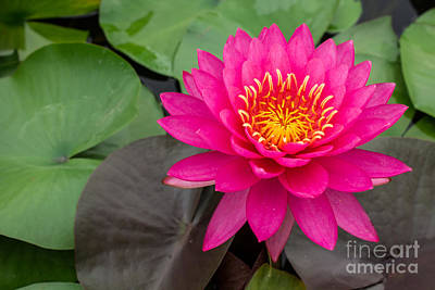 Beautiful Pink Waterlily Poster by Tosporn Preede
