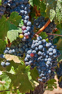 Beautiful Purple Grapes In Wine Vineyards In Napa Valley In California. Poster by Jamie Pham