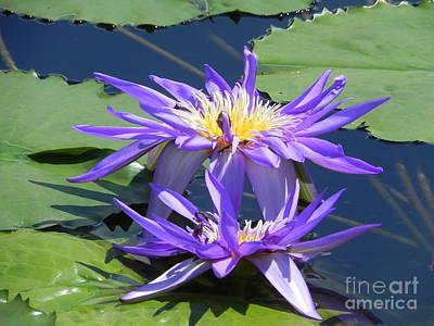 Beautiful Purple Lilies Poster by Chrisann Ellis