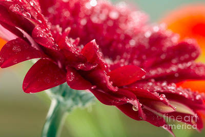 Beautiful Red Gerbera Poster by Boon Mee