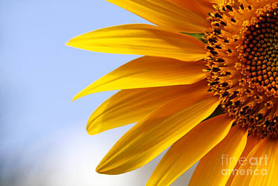 Beautiful Sunflower Closeup Poster by Boon Mee