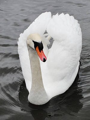 Poster featuring the photograph Beautiful Swan by Tiffany Erdman