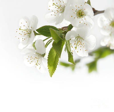 Beautiful White Flower Poster by Boon Mee