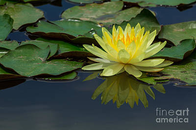 Beautiful Yellow Water Lily Poster by Tosporn Preede