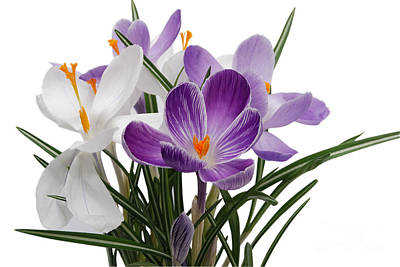 Beauty Crocus Flower Poster by Boon Mee