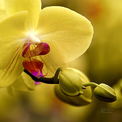 Beauty Of Orchids 2 Poster by Julie Palencia