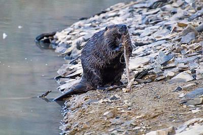 Beaver Sharpens Stick Poster by Chris Flees