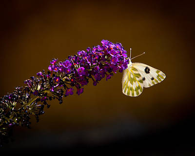 Poster featuring the photograph Beckers On Butterfly Bush Sparks Nevada by Janis Knight
