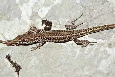 Bedriaga's Rock Lizard Basking Poster