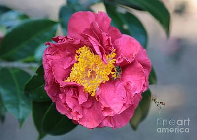 Bee And Wasp On Camellia Poster by Carol Groenen