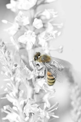 Bee Collecting Pollen Poster