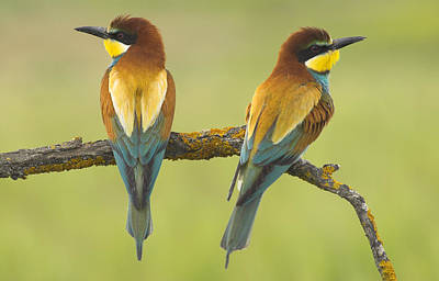 Bee-eaters Couple Poster by Guido Montanes Castillo