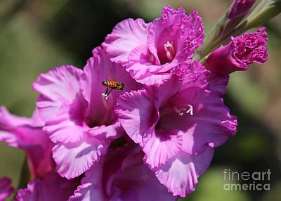 Bee In Pink Gladiolus Poster by Carol Groenen