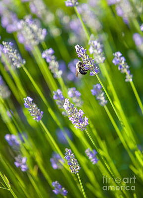 Bee On A Lavender Flower Poster