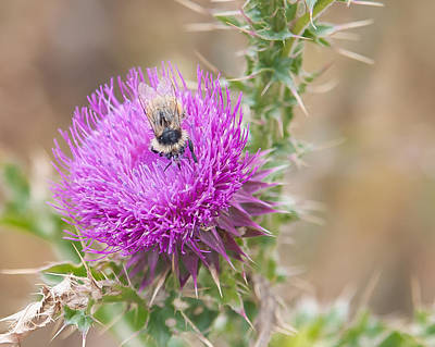 Bee On A Thistle Flower Poster