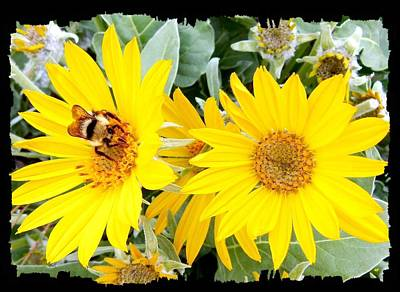 Bee On A Wild Sunflower Poster