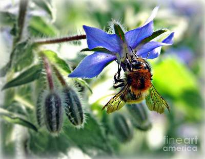 Poster featuring the photograph Bee On Borage by Morag Bates