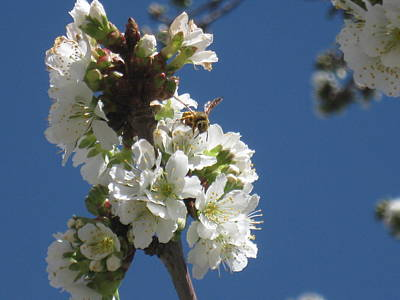 Bee On Cherry Blossoms Poster