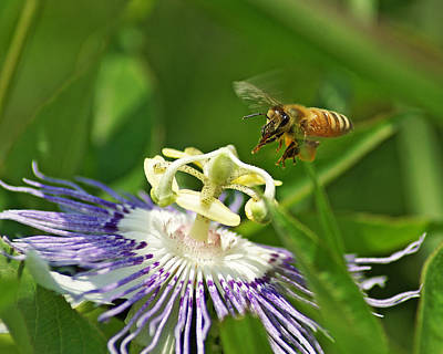 Bee On Passionflower Poster