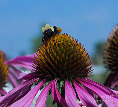 Bee On Purple Coneflowers Poster