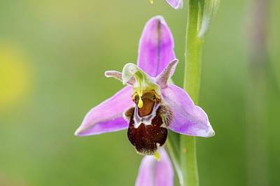 Bee Orchid Poster by Heath Mcdonald