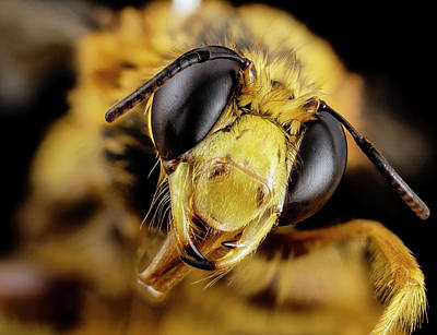 Bee (pachymelus Bicolor) Poster by Us Geological Survey