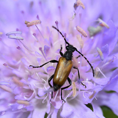 Beetle On Pink Flower Poster