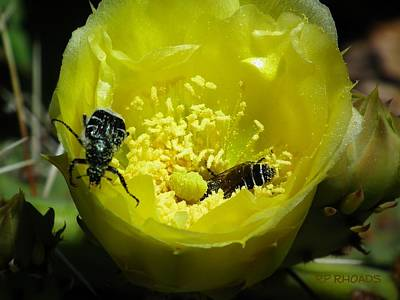 Pollinating Cacti Bloom Poster