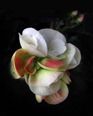 Begonia Petals Poster