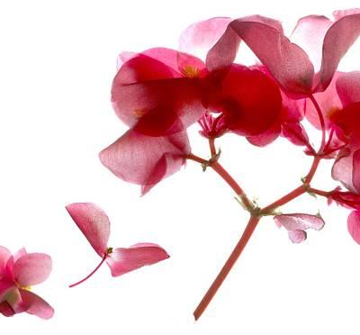 Begonia Pink Vii Poster by Julia McLemore