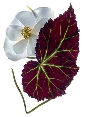 Begonia White Poster