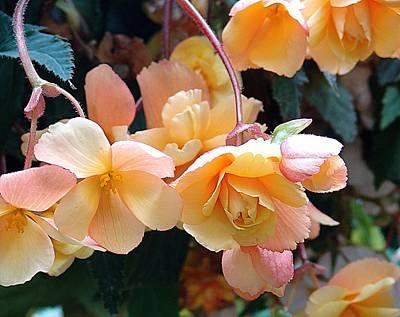 Begonias No. 1 Poster