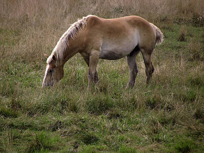 Belgian Draft Horse Poster