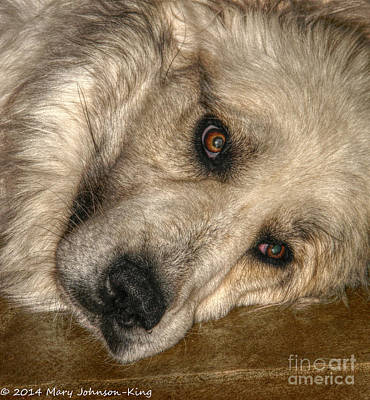 Bella Great Pyrenees Poster by Mary  King