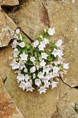 Bellflowers (campanula Betulifolia) Poster