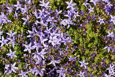 Bellflowers (campanula Elatines) Poster