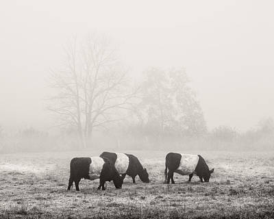 Belted Galloway Cows On Foggy Farm Field In Maine Poster