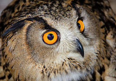 Bengal Eagle Owl Or Indian Eagle Owl Poster by Nigel Downer