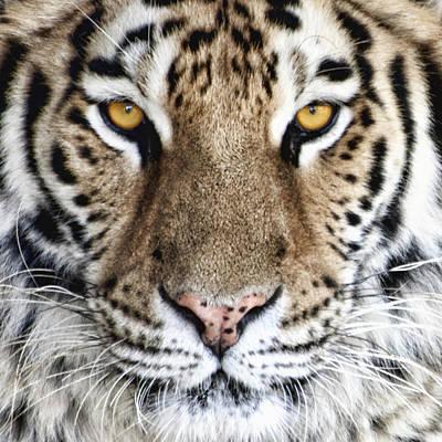 Bengal Tiger Eyes Poster by Tom Mc Nemar