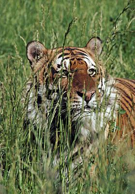 Bengal Tiger In Grass Poster by Robert Jensen